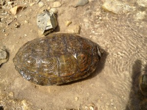 Water turtles can be seen in the river