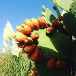 Chumbas or Prickly Pears