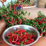 Abundance of chillies